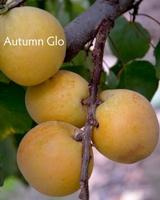 Autumn Glo Apricot