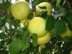 Oro Blanco Sweet Grapefruit